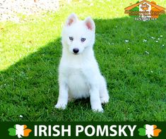 KATIEBROOKE KENNELS POMSKY SPECIALISTS IRELAND Price €1500 F1B #pomsky puppy ALLISON Blue Eyes x  Female x All White x www.katiebrookeke... Like, Comment and Share :) Call Denis 00353 86 025 8892 for more info or contact us via our website #ireland #katiebrookekennels  @katiebrookekennels