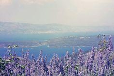 Lavender of Hvar, Croatia