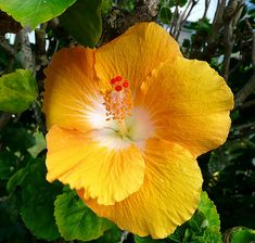 Hibiscus Gold