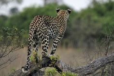 Lean times for inexperienced predators at Seba Camp at the very end of the dry season