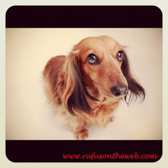 Bonus Pic. To see more of Sophie, Rufus & Friends visit http://wp.me/p27Fw1-8v #dachshunds #doxies