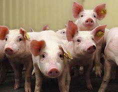 Risico's in de vleesketen. (Conclusies van de onderzoeksraad voor veiligheid.)