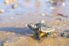 baby-turtles-spend-20-30-years-riding-the-ocean-currents-before-returning-to-their-birthplace-to-nest.-where-they-go-is-still-a-mystery