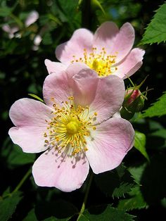 The Dog Rose (Witches' Briar, Dogberry) symbolizes Pain and Pleasure. After World War II, it was planted in victory gardens and still grows from those locations. It is native to Europe, NW Africa, and W Asia. It is a deciduous shrub ranging from 1-5m high though it can grow higher than trees. Its prickles help it climb. The flowers are usually pale pink, though they can vary between deep pink and white.