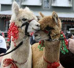 ALPACAS ADORNADAS - xmas alpacas