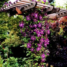 Clematis come in an array of colors, but one variety with purple flowers -- 'Jackmanii' -- is among the most well known. It's one of the most floriferous, showing off its display of purple flowers on and off all summer long. Note: Plant several types of clematis together on a wall or arbor to extend the bloom season. Name: Clematis 'Jackmanii' Growing conditions: Moist, well-draines soil that's rich in organic matter.