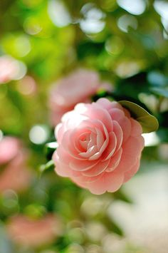 Camellia Japonica - February Evergreen shrubs with beautiful solitary or clustered flowers appearing early in the year with glossy, leathery leaves Amazing Flowers, My Flower, Pink Flowers, Beautiful Flowers, Cactus Flower, Exotic Flowers, Yellow Roses, Deco Floral, Evergreen Shrubs