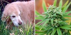 This Is Why You Need To Keep Edibles Away From Your Pets...