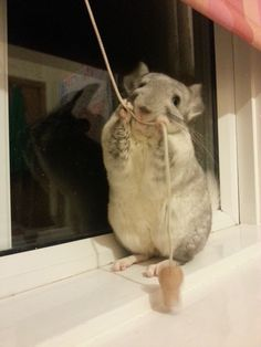 10 Reasons Chinchillas Are Super Cute