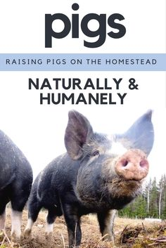 These Berkshires are a gang of smiling, snorting, curly tail spinning, lip smacking pudgy roll growing food bliss, porkers. Have you ever heard… Happy Animals, Farm Animals, Wild Animals, Berkshire Pigs, Pig Feed, Raising Goats, Pig Farming, Farming Ideas, Mini Pigs