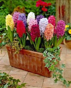 How to Grow Hyacinth: The Hyacinth mixture is gorgeous!