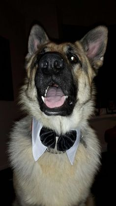 GSD....Practicing to be Mom and Dad's Ring Man!