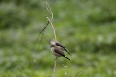 Indian Silverbill Photo by Raman Oza — National Geographic Your Shot