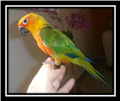 Sun Conure, looks like the one at my work. Hes so fun and awesome! But $550 is a bit out of my price range.. maybe one day..
