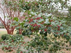 #adventword Wednesday in the first week of advent: Holly berries for a splash of seasonal color.