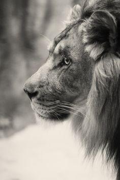 profile of a king, @Sierra Misunderstood, I thought of u & Liontracks, u got Pinterest yet?