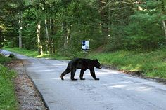 Black Bear crossing the road at Cades Cove, Great Smoky Mountains National Park, TN, USA. -- (I was lucky to have a similar bear sighting here)