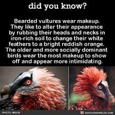 Bearded vultures wear makeup. They like to alter their appearance by rubbing their heads and necks in iron-rich soil to change their white feathers to a bright reddish orange. The older and more socially dominant birds wear the most makeup to show off and appear more intimidating.