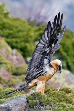 The Bearded Vulture (Gypaetus Barbatus), also known as the Lammergeier or Lammergeyer, is a bird of prey. It lives and breeds on crags in high mountains in southern Europe, Africa and India. Birds Of Prey, All Birds, Love Birds, Pretty Birds, Beautiful Birds, Animals Beautiful, Cute Animals, Exotic Birds, Colorful Birds