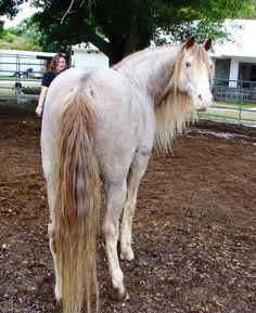 Missouri Fox Trotter stallion Bo's Another Sensation