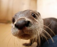 CLOSE UP SUPER CUTE OTTER PUP