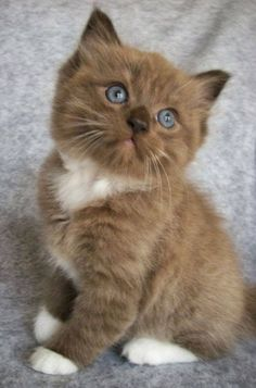 What an adorable chocolate coloured kitty…