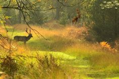 Fallow Stag in The New Forest, Hampshire England