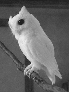 http://weheartit.com/entry/12999679  #owl #white