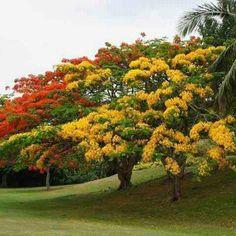 Flamboyan tree in red /orange and yellow.