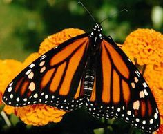 inkspired musings: Butterflies
