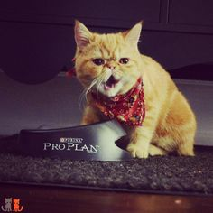 """""""This  is ng tasty!"""" """"Woah Pumpkin they probably won't regram you if you curse and talk like @ischmar"""" """" you. Gimme more Chicken and Rice """" #exoticshorthair #cat #cute #flatface #kitten #meow #pet #mreggs #catlover #exoticsofinstagram #smushface #cutepetclub #weeklyfluff"""