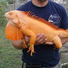 Iguana #reptiles #orange