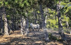 There are several herds of wild horses living freely in mount Spil near Manisa,Aegean Turkey.They graze and move freely on the national park area freely .It is estimated that there are around 700 of them and neutering is on the agenda because the national park area is limited.