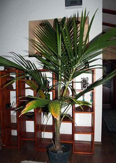 Beautifully grown coconut palm