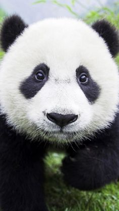 I want a baby Panda sooooo badly! Too adorable! Panda Kawaii, Cute Panda, Panda Bebe, Red Panda, Beautiful Creatures, Animals Beautiful, Funny Panda Pictures, Panda Images, Funny Images