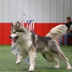 CBD Oil and Hemp Treats Bundle for Dogs | Innovet Pet Large Dogs, Dog Treats, Hemp, Husky, Medicine, Oil, Animals, Big Dogs, Animales