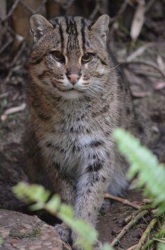 Fishing cat   Flickr - Photo Sharing!