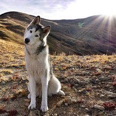 A Lone Wolf   http://ift.tt/2iDNSoO via /r/dogpictures http://ift.tt/2iyG2cM  #lovabledogsaroundtheworld