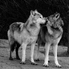 "Wolves are so pretty.  I love mine :) this is an amazing picture.  Unitedstateswolfrefuge.com   have adoptions now! Check out a""Casa"""