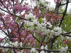 Rami di fior di ciliegio