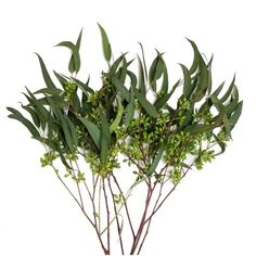 Shop Sam's Club for savings and discounts on fresh cut flowers, potted plants and other floral needs. Types Of Eucalyptus, Philadelphia Magic Gardens, Bulk Flowers Online, Willow Branches, Floral Supplies, Seed Pods, Leaf Shapes, Amazing Flowers, Fresh Flowers