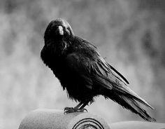 crows tumblr - Google Search