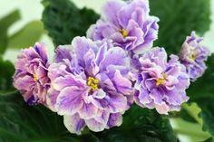African-Violet-RS-Madeira-plug-plant