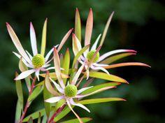Leucadendron Tall Red