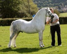 Ffynnonrhys Welsh Assembly - Stallion Directory - 11.75 h.