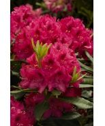 Nova Zembla Rhododendron (Rhododendron x 'Nova Zembla' (H-1)) - Monrovia - rear yard at grill porch
