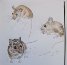 Woodmice. Sketchbook drawing by Lisa Toppin.