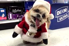 Marnie the Dog has a condition called vestibular syndrome that gives her a perpetually smiling face and tilted head — a unique look that's earned her hundreds of thousands of fans on Instagram and Facebook.The rescued Shih tzu became a star when she cheerfully explored a pharmacy back in September, and now she's donned a wee Santa outfit to recreate her breakout hit just in time for Christmas.Keep watching for more adorable Christmas animals, including a hot mug of cat and a baby goat's ...