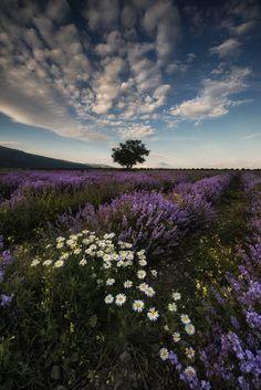 Lavender Field in Bulgaria