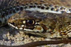 Culebra bastarda - Malpolon monspessulanus La culebra bastarda o de Montpellier es una especie de reptil escamoso de la familia Colubridae. Es una serpiente venenosa opistoglifa que no es peligrosa para el hombre.